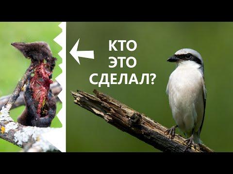 Самая маленькая хищная птица. Сорокопут-жулан охотник с крючком на клюве