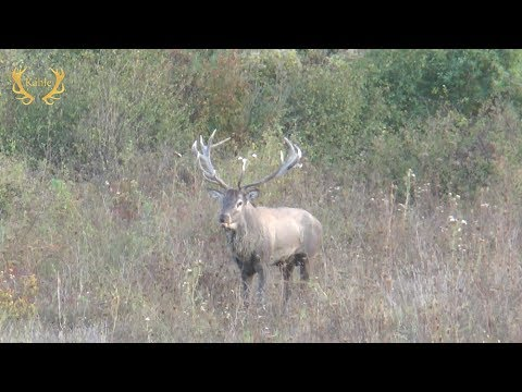 Jagd Auf Einen Goldmedaillenhirsch - Hirschbrunft In Bulgarien