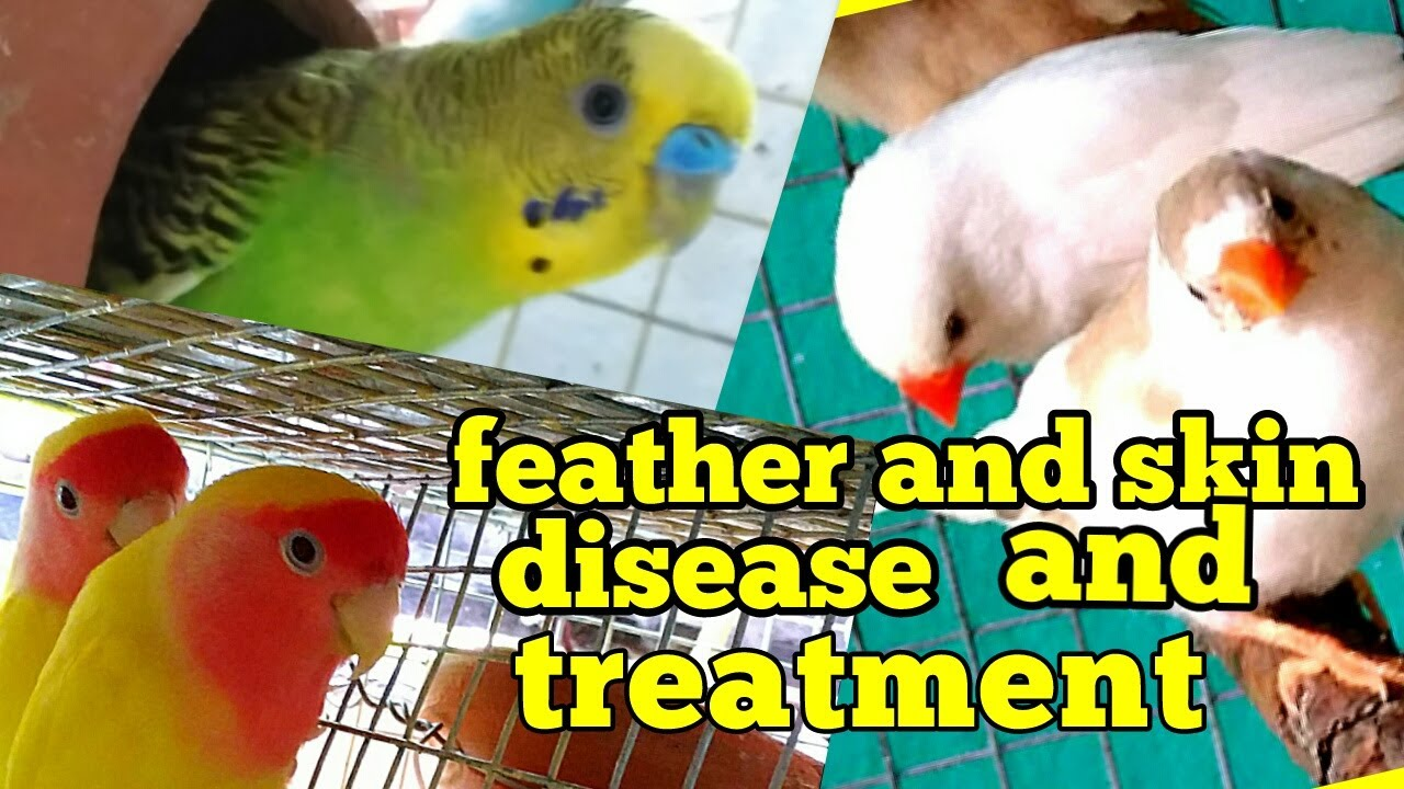 Budgies feather and skin disease, cause and solution(in Hindi/Urdu and  English)