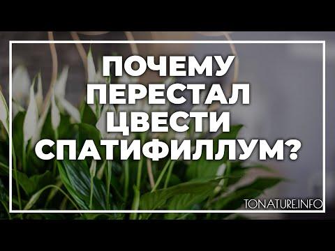 Почему перестал цвести спатифиллум дома? | toNature.Info