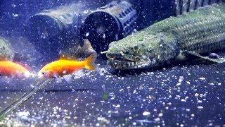 【閲覧注意】恐竜みたいな魚に金魚をあげてみたら・・・