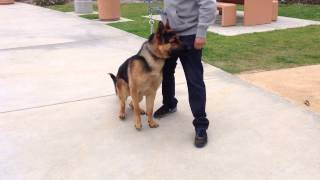 German Shepherd Obedience Training Los Angeles & Orange County | Sandlot K9 Services