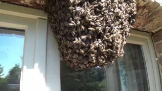 Abeilles.  Déloger un essaim installé entre fenêtres et volets    Honey bee colony removal