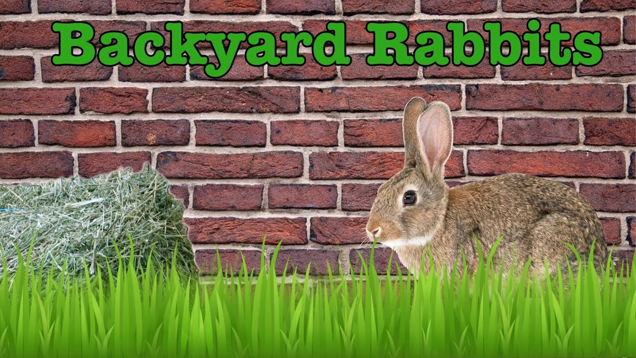 Backyard Rabbits! - YouTube