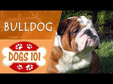 Dogs 101 - BULLDOG - Top Dog Facts About the BULLDOG