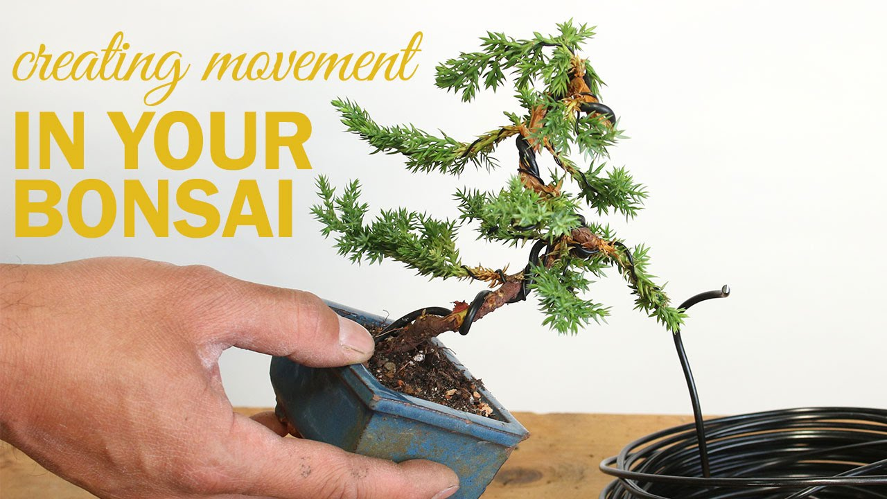 how to create a bonsai with movement wiring a bonsai tree trunk rh youtube com Pine Bonsai Chinese Juniper Bonsai
