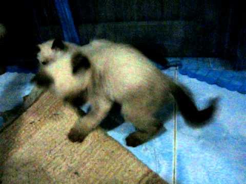 ลูกแมววิเชียรมาศ อายุเดือนกว่า (สันต์ 085-6186322)