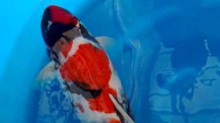 JK - Dainichi showa, Best in size 55cm