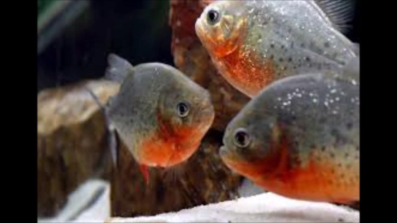 aquarium 4 inch red belly piranha fish for sale at joes aquaworld mumbai  mulund 9833898901