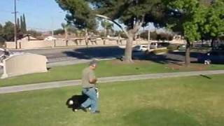 Mojo Heeling On Leash.  K-9 Attitude Adjustment