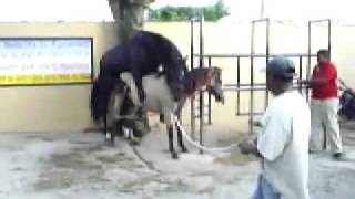 جنس خيول