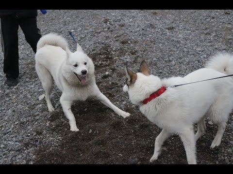 dogs playing husky west siberian laika youtube