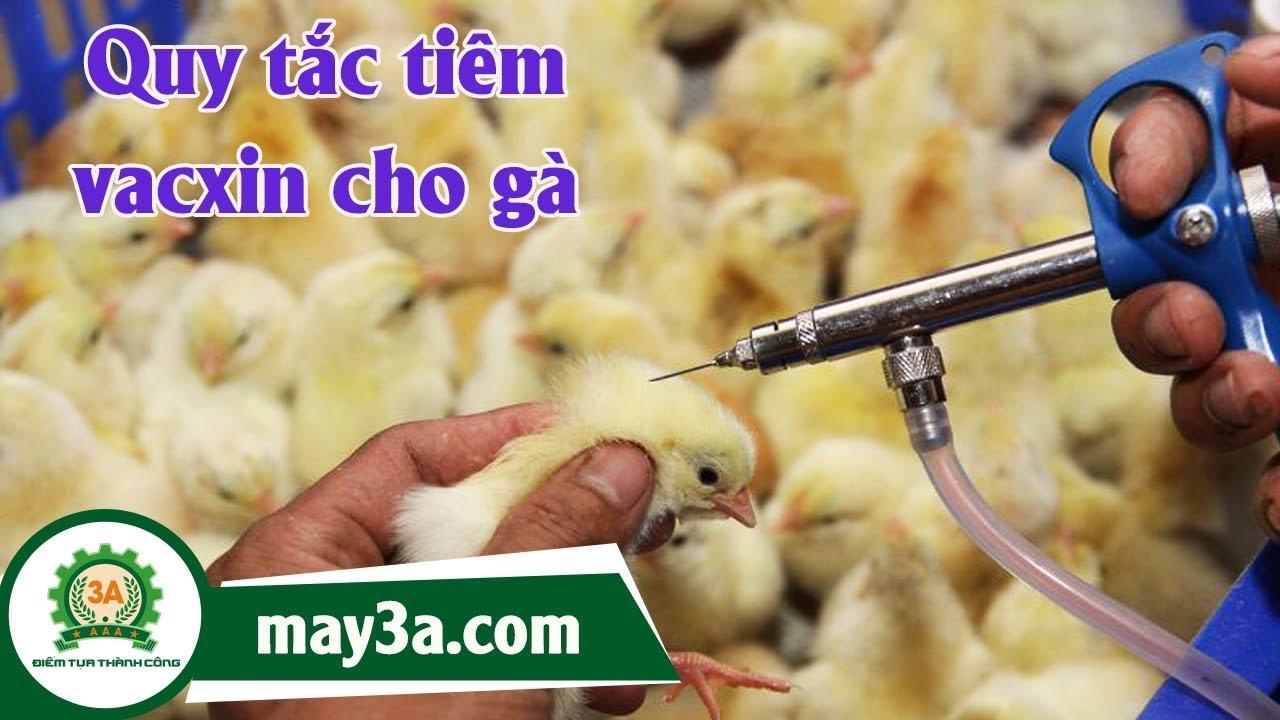 Vị trí tiêm vacxin cho gà – Quy trình tiêm vacxin cho gà