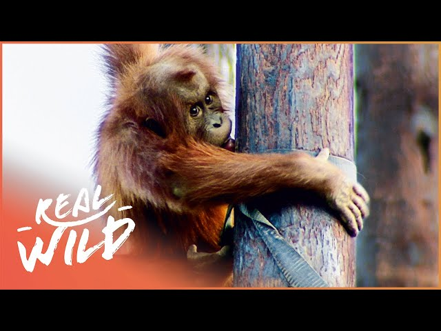 Young Orangutan Has Potentially Dangerous Skin Disease | Zoo Days | Real Wild