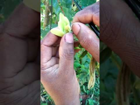 How to pollinate a vanilla flower