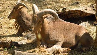 Харьковский зоопарк - Винторогий козел и Гривистый баран