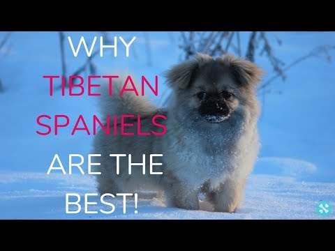 Why Tibetan Spaniels Are The Best!