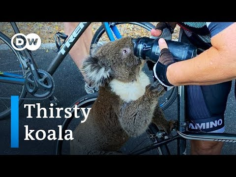 Thirsty Koala Approaches Cyclists For A Drink Of Water | DW News