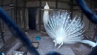 Белый павлин с короной на голове расправил свой шикарный хвост и издаёт звуки   в зоопарке за сеткой
