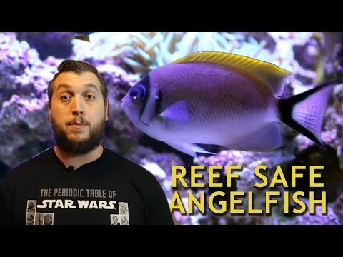 REEF SAFE ANGELFISH!