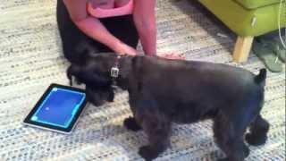 "Miniature Schnauzer Bumblebee Plays ""game For Cats"" On The Ipad"