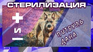 СТЕРИЛИЗАЦИЯ СОБАКИ | ПИТБУЛЬ | жизнь с собакой |