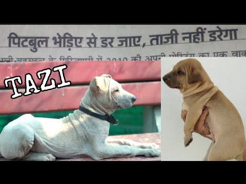 Tazi - A rare Indian Dog Breed || Best Guard + Fighter Dog Breed ||  Full Interview || jsk pets ||