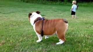 Kiko The English Bulldog Playing