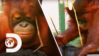 Orangutan Experiment Doesn't Go According To Plan | Meet The Orangutans
