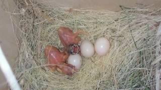 Желтые птенцы амадин гульда, возраст 4 дня