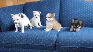 Pomeranian Mix Puppies - Www.greenfieldpuppies.com