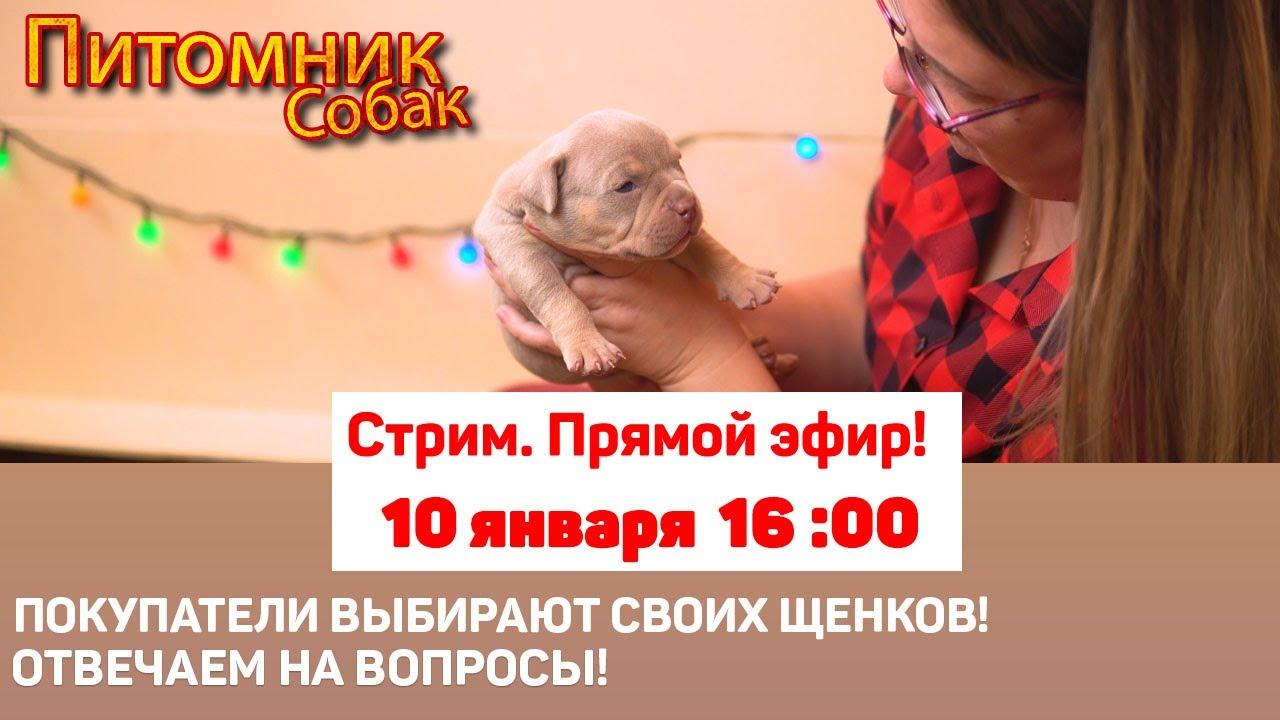 Покупатели выбирают щенков. Отвечаем на вопросы  | СТРИМ [10 января 16:00]