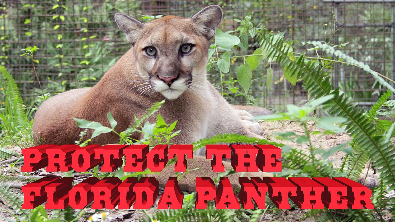 84befe02664 Florida Panther facts, Florida Panther photos, Florida Panther videos and  Florida Panther news