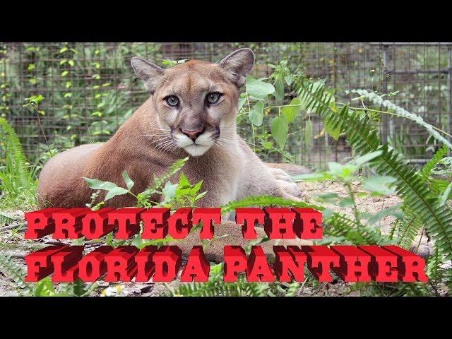 6a811661b1f Florida Panther facts