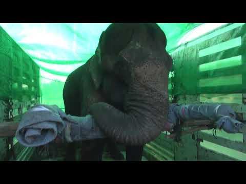 Bua Keaw Elephant rescue