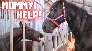 Weaning off the colt Minze Teije | Friesian Horses
