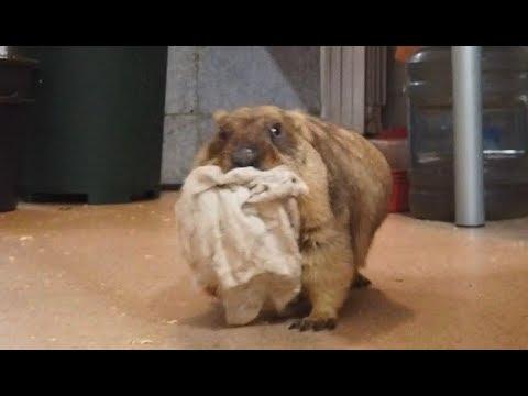Жирные и прекрасные сурки самозабвенно воруют тряпочки. Fat marmots steal rags!