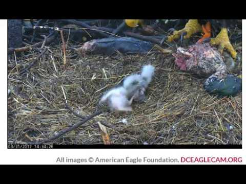 DC Eagle Cam 03 31 2017 One Juicy Duck