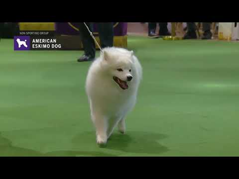 American Eskimo Dogs | Breed Judging 2019
