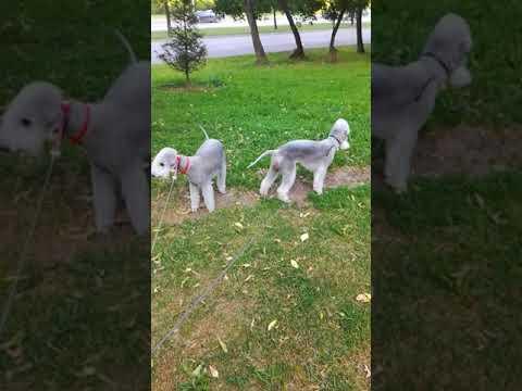Airy Step Bedlington terrier kennel(5)