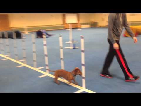 Dog Agility Training with Ammo the Dachshund - an off day