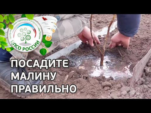 Посадите малину правильно. Как посадить малину. | выращивание | вырастить | посадка | агроном | сажать | россии | осенью | огород | малины | каждый