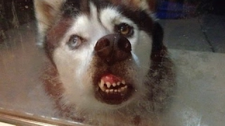 smieszne psy 2016 śmieszne filmiki zwierzeta upadki wpadki piesków kompilacja