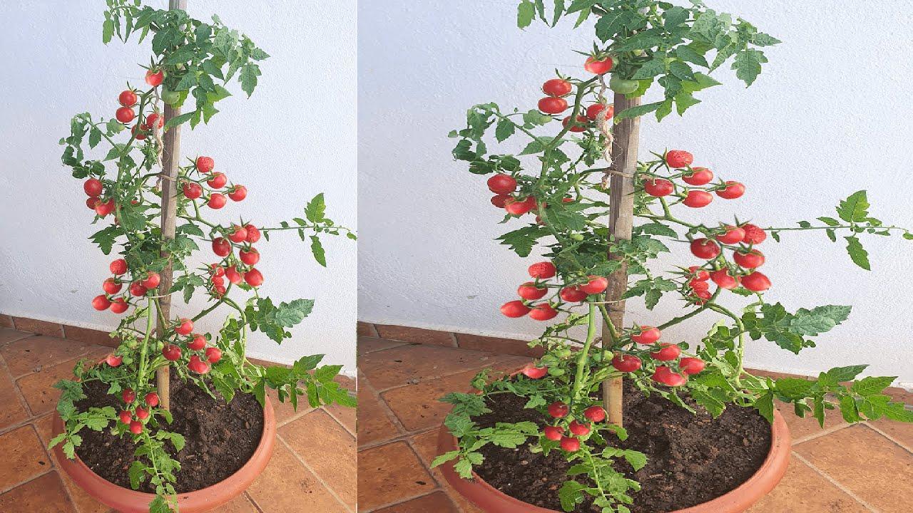 Como plantar e adubar pé de tomate já produzindo