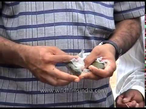 Pearl farming in India