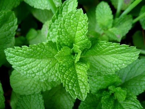 Peppermint Tea | Antimicrobial, Antiviral, Antioxidant, Tumors, Allergies, Immune, Cancer, IBS