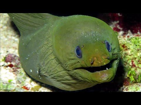 Версус Мурена напала на дайвера. На что способна мурена против осьминога, краба, акулы