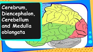 Biology - Cerebrum, Cerebellum, Medulla oblongata - Control and coordination - Part 4 - English