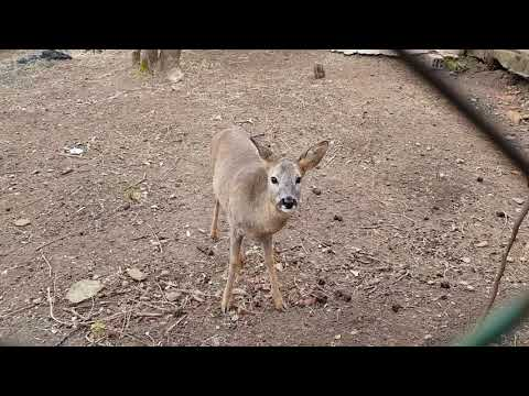 Western roe deers