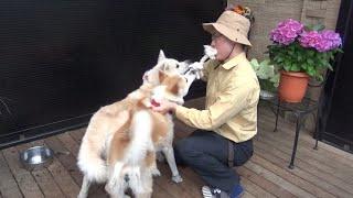 【ミキゴロウさん】秋田犬と綱引きやってみた!